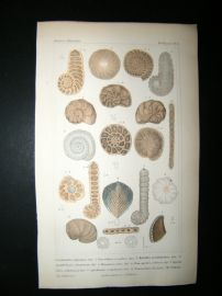Cuvier C1835 Antique Hand Col Print. Shells #8